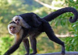 white faced monkey and baby.jpg