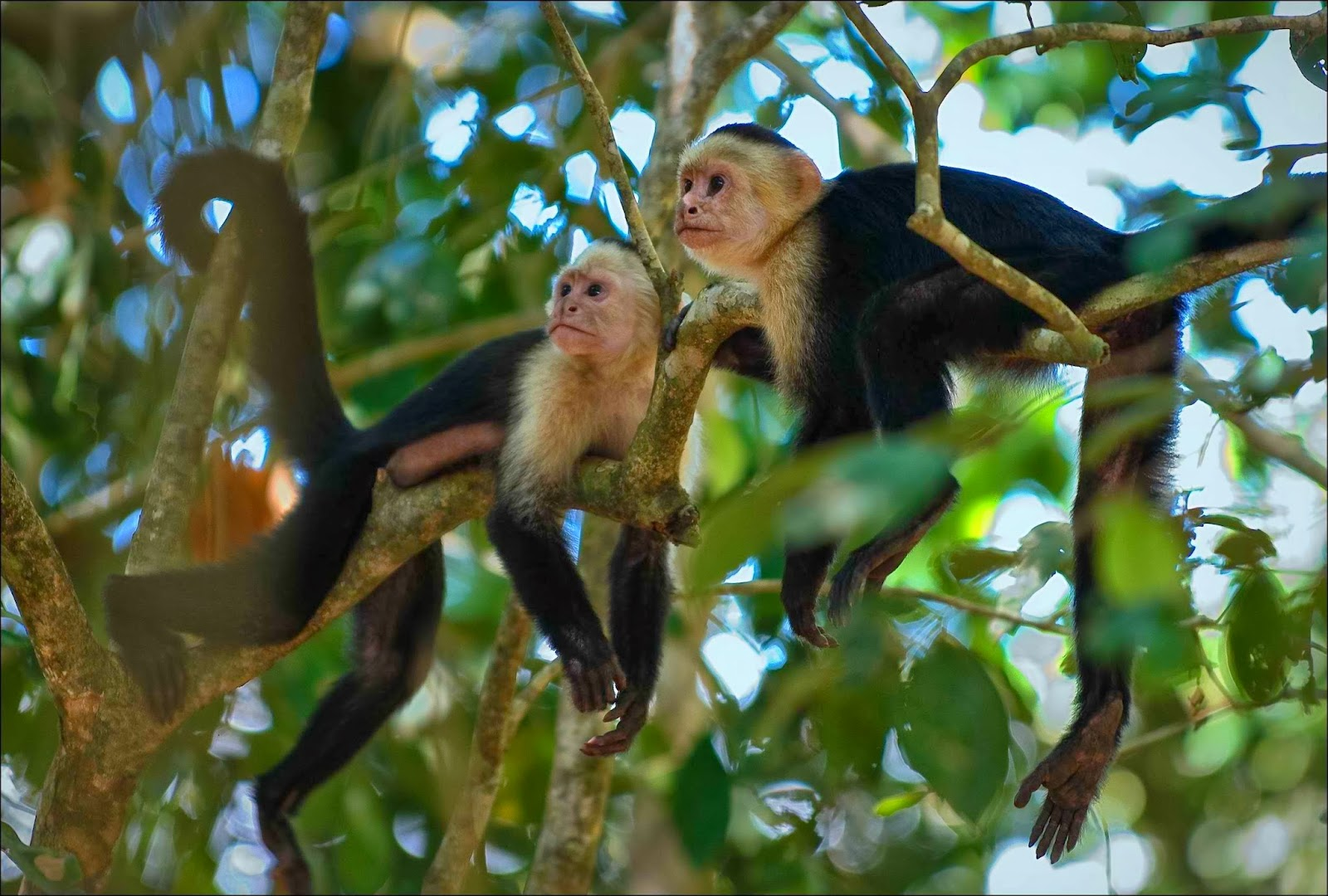white-faced-capuchins.jpg