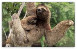 sloth with baby costa rica.jpg