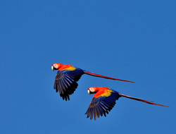 scarlet macaws seen daily