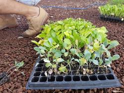 Organic Plant Babies