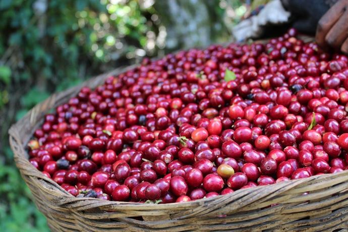 coffee fruit690x460.jpg
