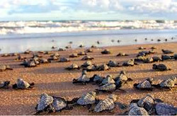 local baby turtle conservation
