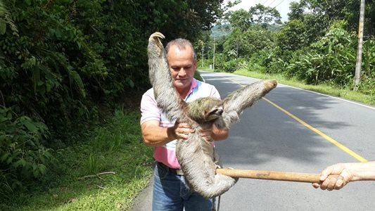 helping a sloth cross the road