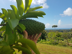 guanabana (soursop) tree with a view