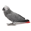 african-grey.png