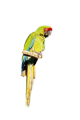 01341-Buffons-Macaw-in-a-tree.png