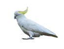 australian_parrot_on_a_transparent_backg