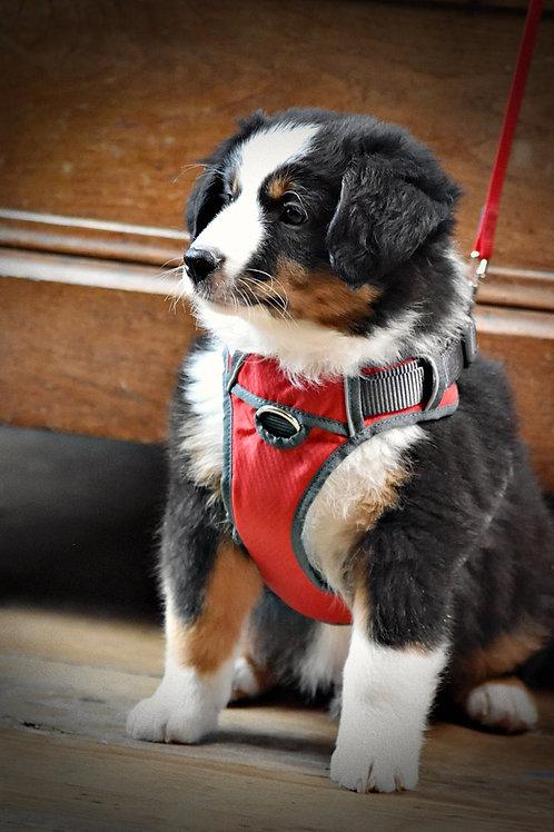 harnais sport pour chiot et chien , 5 tailles et 5 prix , 5 coloris
