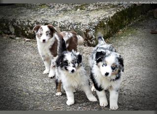 Arrivée de 3 merveilleuses petites femelles Berger américain miniature à l'élevage !!!