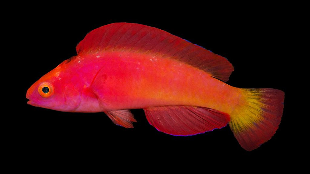 2017 wasn't all bad. We got to know some fascinating fish, like this magma fairy wrasse.