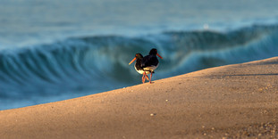 Pied Oystercatcher with Wave