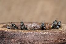 Sugarbag Bees