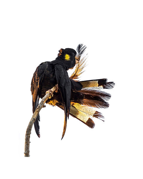 Yellow-tailed Black Cockatoo for Website