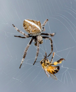 Spider and the Bee