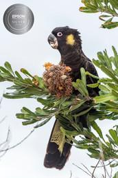 Yellow-Tail Black Cockatoo Feeding