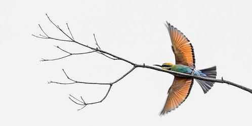 Rainbow Bee-eater in Flight 8 x 12 inch