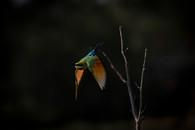 Rainbow Bee-eater in Flight