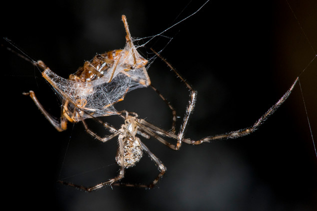 Spider with captured Assasin Bug