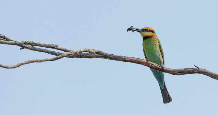 Rainbow Bee-eater with Blue Wasp