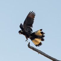 Yellow-tail Black Cockatoo - Lift Off