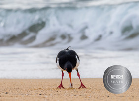 Pied Oystercatcher with Pipi