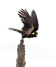 Yellow-tailed Black Cockatoo - Wings