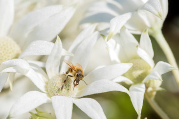 Flannel Flower with Bee