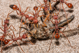 Red Bull Ant Attack