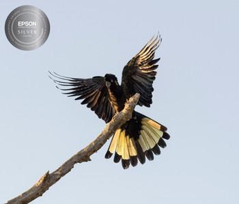 Yellow-tail Black Cockatoo Plummage