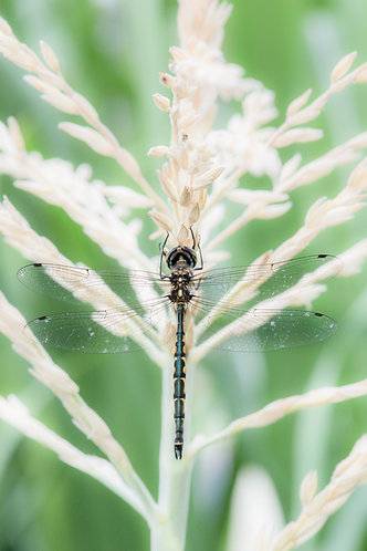 A Roosting Dragonfly 8 x 12 inch