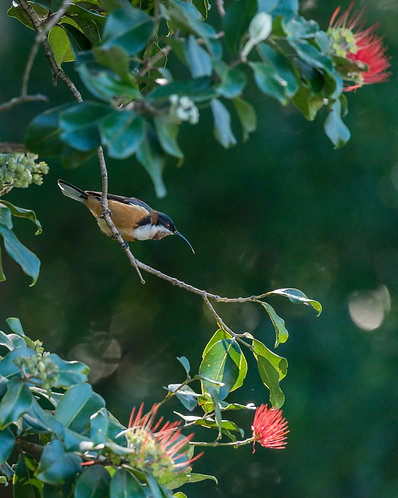 Eastern Spinebill with New Zealand Christmas Bush 8 x 12 inch