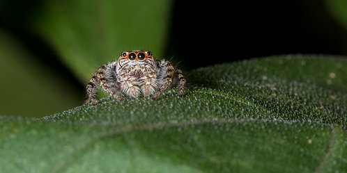 Jumping Spider on Leaf 8 x 12 inch