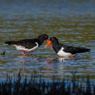 Pied Oystercatcher with Crossed Bills