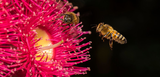 Gum Blossom with Honey Bees