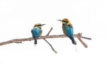 Rainbow Bee-eaters - Male & Female