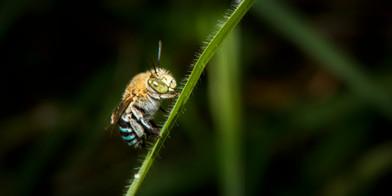 Australian Blue Banded Bee
