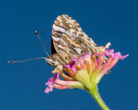 Butterfly with Lantana Flower