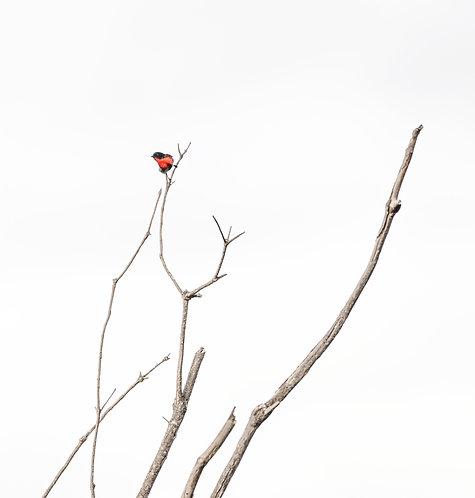 Mistletoebird 12 x 18 inch