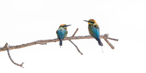 Rainbow Bee-eaters 12 x 18 inch