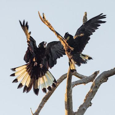 Yellow-tail Black Cockatoo - Disagreement