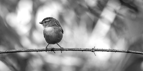 Spotted Pardalote in Black and White 12 x 18 inch