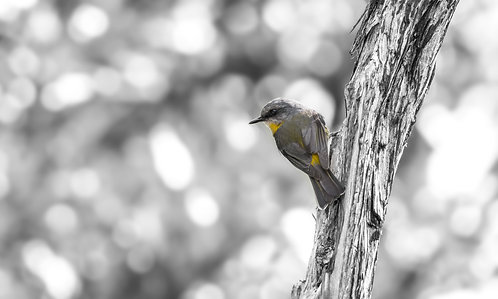 Eastern Yellow Robin in Black and White 12 x 18 inch