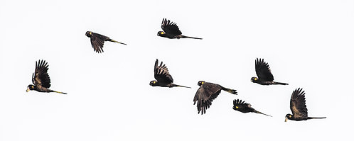 Yellow-tailed Black Cockatoo's in Flight 20 x 8 inch