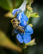 Gold Tipped Leaf Cutter Bee