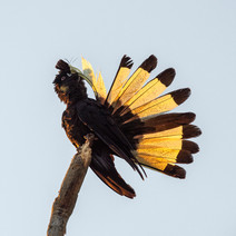 Yellow-tail Black-cockatoo Preening Beautifully