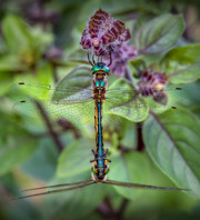 A Pair of Dragonflies