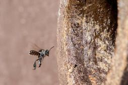 Sugarbag Bee