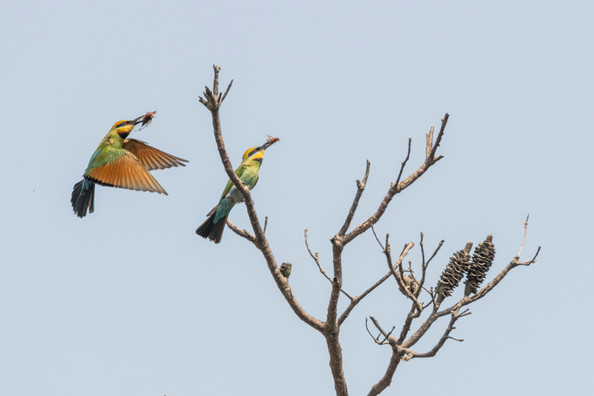 Rainbow Bee-eaters comparing Meals