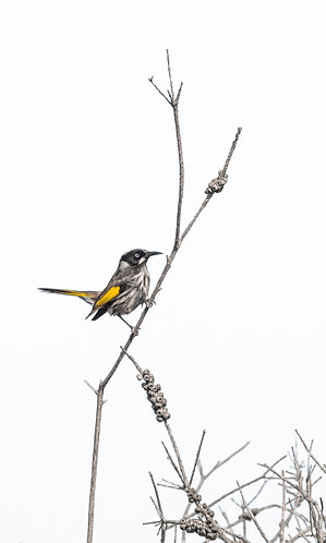 New Holland Honeyeater 8 x 12 inch